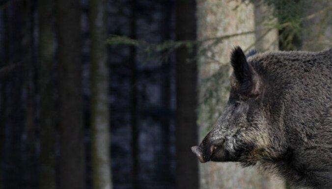 Āfrikas cūku mēri meža cūkām konstatē trīsreiz retāk nekā pērn