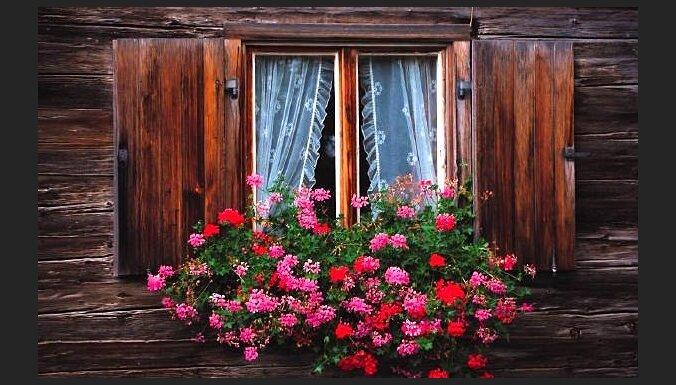 Vecmāmiņas mīļākā puķe pelargonija – ne tikai istabā, bet arī uz balkona un dārzā