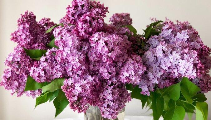 Ceriņi vāzē: knifiņi, kā ilgāk saglabāt skaistos ziedus