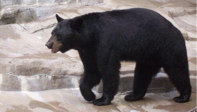 Holandietis izglābj trīs gadus vecu meitu no lāča vācu zoodārzā