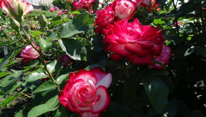 Foto: Rundāles pils franču dārzā aicina lūkot ziedošās rozes