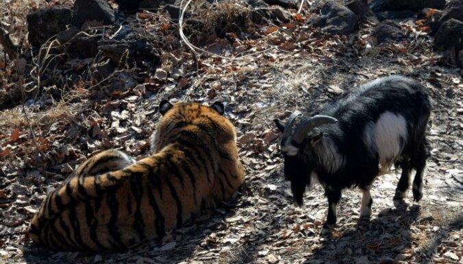 ВИДЕО: Тигр Амур и козел Тимур вновь увидели друг друга — через ограду