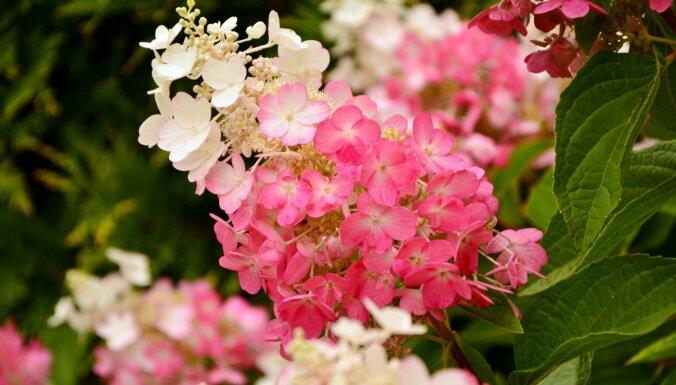 Modes puķes – hortenzijas. Eksperte iesaka krāšņākās šķirnes dārzam