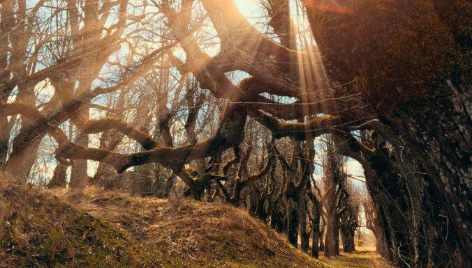 Rekordisti vai kā citādi vilinoši – apskates vērti koki un alejas Latvijā