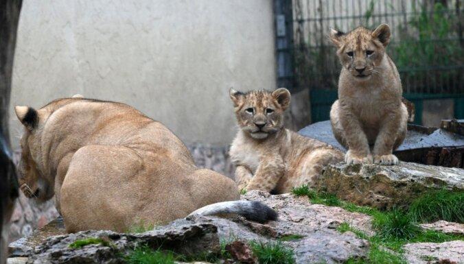 Rīgas zoo lauvēnus sauks Teika un Varis; turpmāk dzīvniekus varēs vērot tiešsaistē
