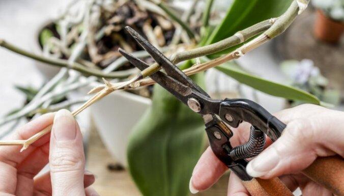 Nokaltuši falenopšu ziedkāti – griezt vai negriezt