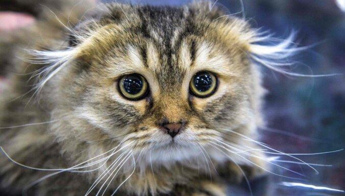 Krievijā pirmo reizi Covid-19 apstiprina kaķim