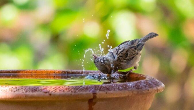 Vai putnus karstajā laikā jāpadzirdina?