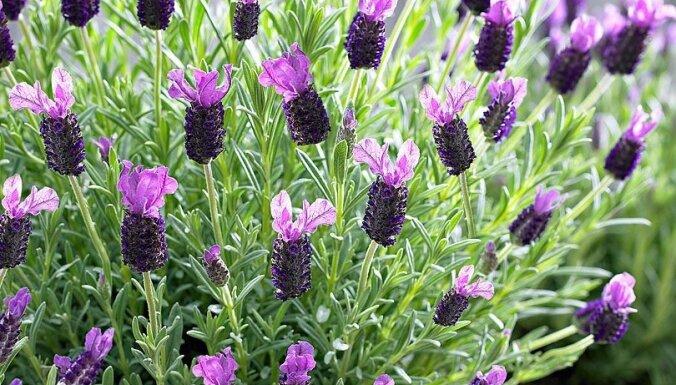 Astoņi krāšņi ziedi balkona puķu dārzam