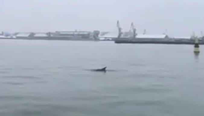ВИДЕО: В Лиепайском порту замечен дельфин
