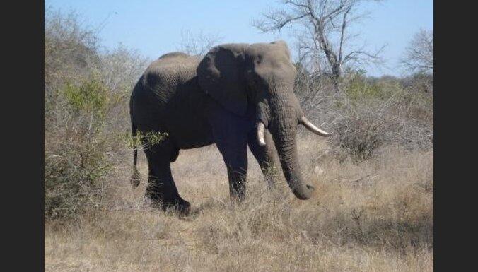В Непале взбесившийся слон убил 11 крестьян