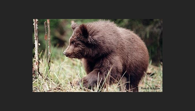 В начале годе в Лигатне откроют новый дом для медведей