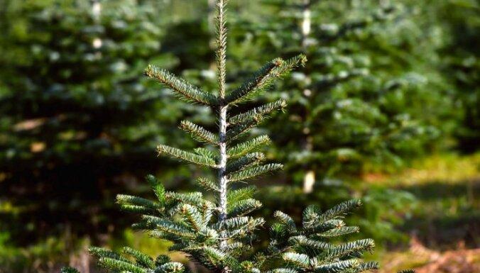 Aicina videi draudzīgi atbrīvoties no Ziemassvētku eglītēm