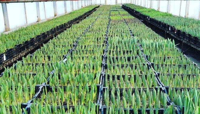 No sīpoliem līdz pavasara plaukumam – kā Cēsu dārzniecībā aug krāšņās tulpes