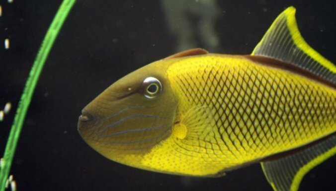 Foto: Lietuviešu patērētājus priecē skaistas un dārgas zivis