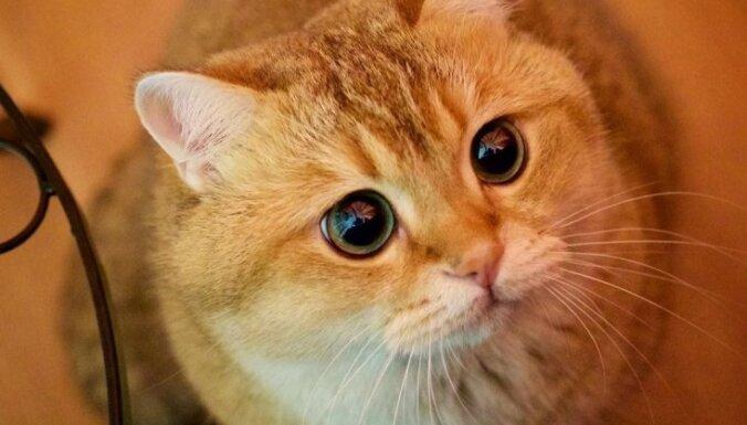Interneta slavenākie kaķi, kurus apjūsmo tūkstoši