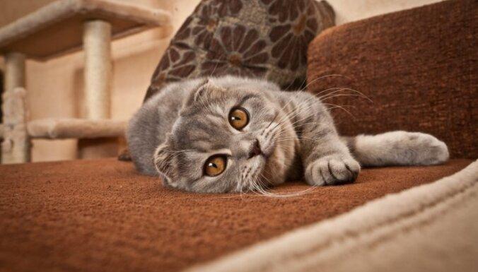 Šķirne, kas radusies pavisam nejauši – Skotijas nokareno ausu kaķis