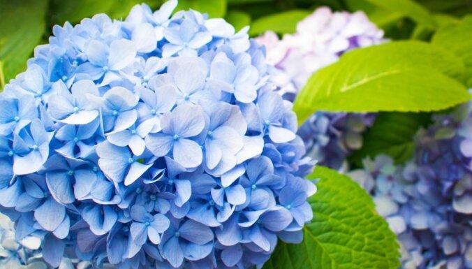 Platlapu hortenzijas: seši ieteikumi to audzēšanā