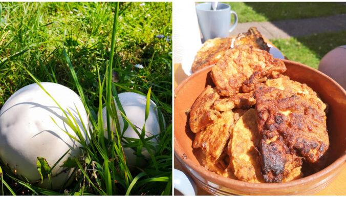 Sezonas delikatese: milzu apaļpūpēža karbonādes