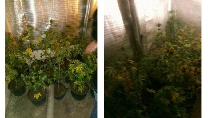 Полиция нашла в гараже и ликвидировала плантацию марихуаны