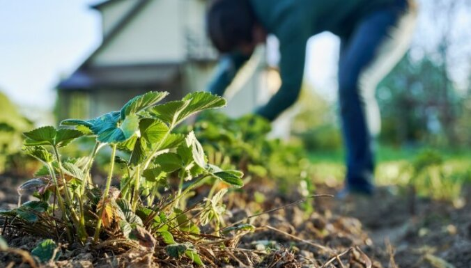 Ravēšana un sagatavošana nākamajai sezonai – aktuālie rudens darbi zemeņu dobē