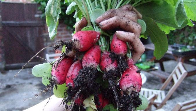 Kraukšķīgi redīsi agrai ražai. Kuras šķirnes izvēlēties, kā audzēt?