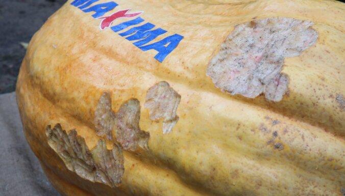 Latvijas smagākā ķirbja rekords paliek nepārspēts; šī gada smagākā oga – 226,5 kilogrami
