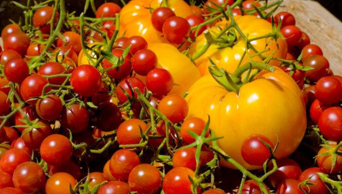 Kā iegūt varenu tomātu ražu?