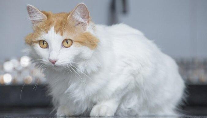Ходят с вами в душ и не боятся купаться: 9 пород котиков, которым нравится вода
