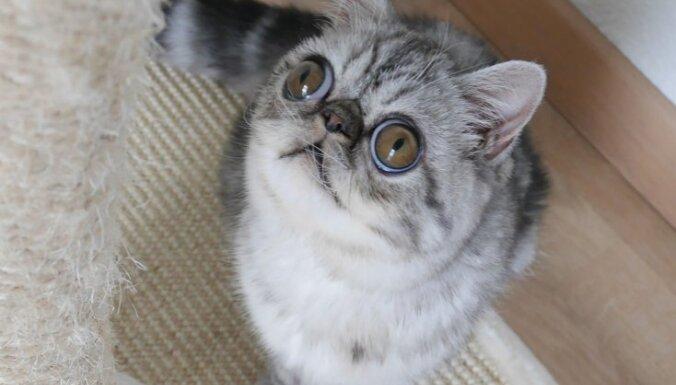 Allaž iebiedētais kaķis Hermans, kura izskats savaldzinās ikvienu