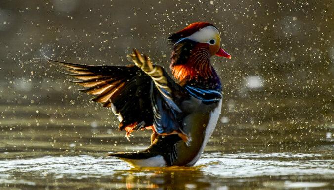 Ругается, как…. утка? Птица в Австралии научилась сквернословить по-человечески