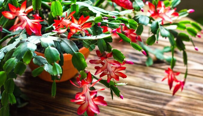 Atstāt vienā vietā un negrozīt – tautas padomi Ziemassvētku kaktusa audzēšanā