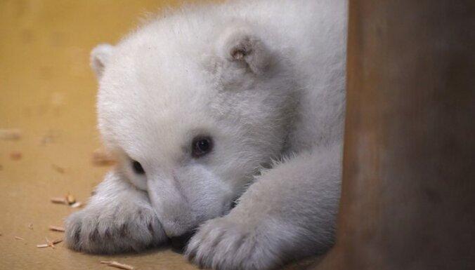 Jestri kadri ar polārlāčiem, kuri mudina baudīt ziemas priekus
