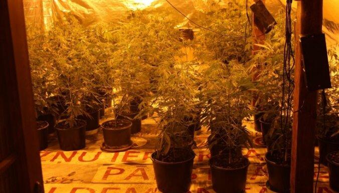 Возле латвийско-литовской границы ликвидировали плантацию марихуаны