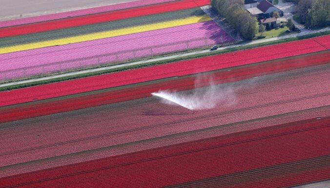ФОТО. Как цветной платок: Поля тюльпанов в Голландии с высоты птичьего полета