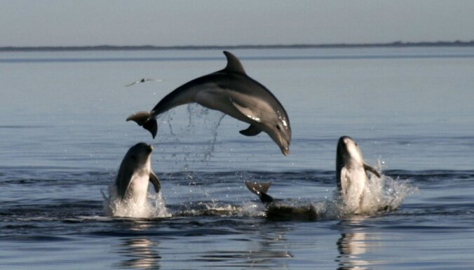 Дельфин помог спасти десятки сородичей, которым грозила гибель