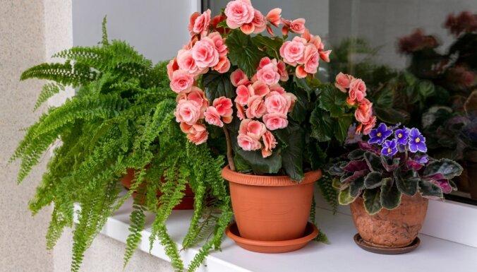 Balkona augi pārceļas uz istabu. Kā iekopt ziedošu un zaļojošu dārzu iekštelpās
