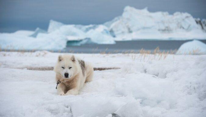 Ne haskijs, ne malamuts: Grenlandes suns, kas radis dzīvei aukstumā