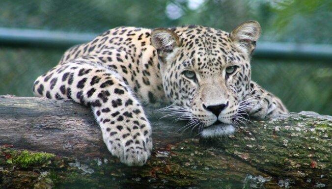Последний людоед - Тигр убийца - YouTube | 385x676
