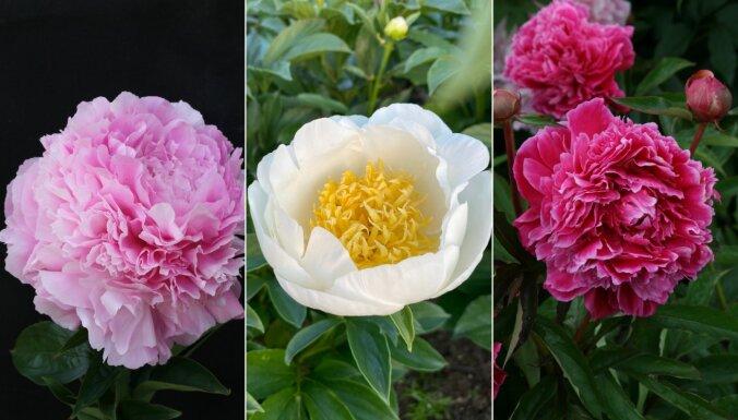 Iesaka audzētāji: peonijas, kas dārzos zied pašas pēdējās