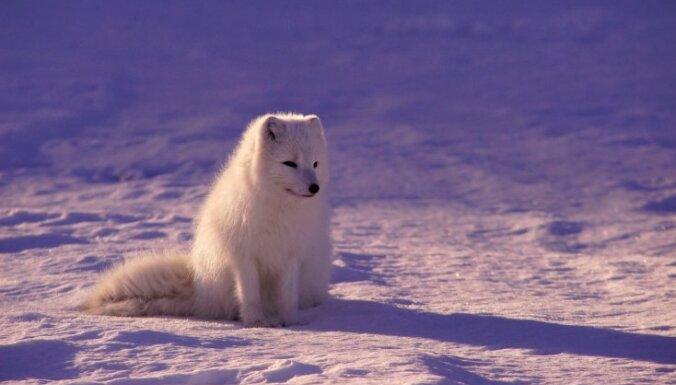 Полярная лисица поразила ученых, пробежав 3,5 тыс. км от Шпицбергена до Канады