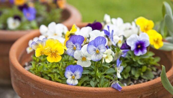 Aprīļa dārza lepnums – atraitnītes. Kā stādīt un kopt
