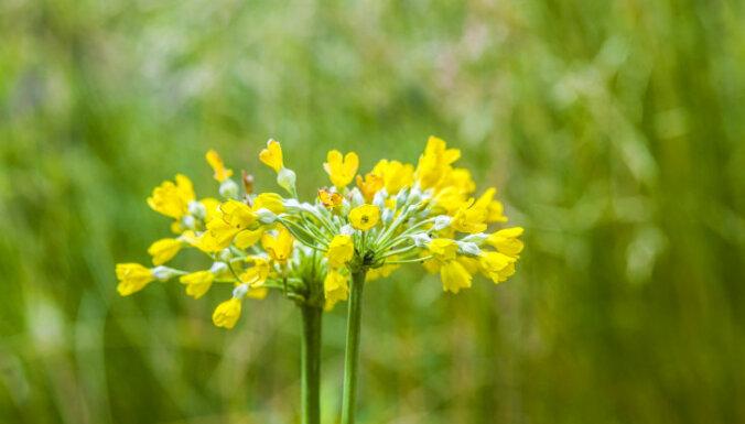 Создаем душистый сад: сажаем примулу сиккимскую