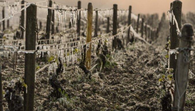 Skarbais Eiropas pavasaris: vīndari izmisīgi cīnās ar salnām un salu