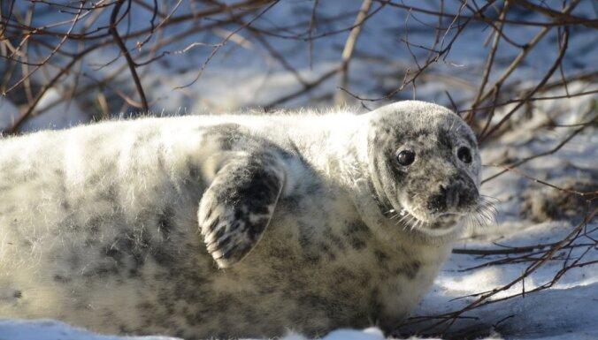 Rīgas zoodārzā dzimis ņiprs pelēkais ronēns