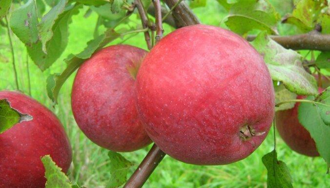 Prezidentam Jānim Čakstem par godu radīta jauna ābeļu šķirne
