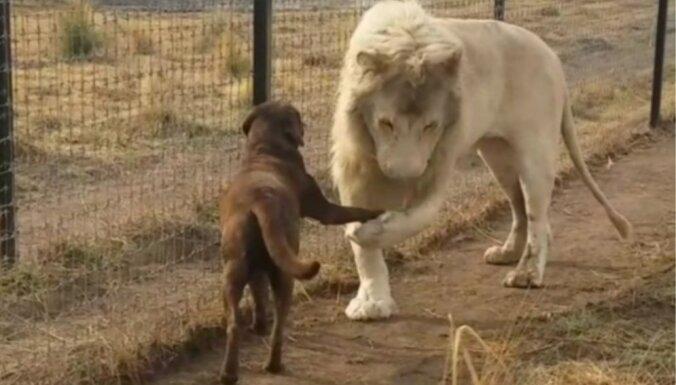 Lauva sarokojas ar suni – unikāls stāsts par īpatnēju draudzību