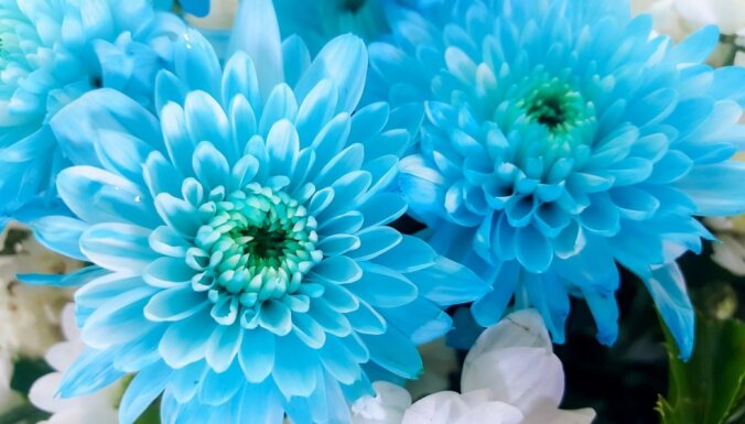 No balta par zilu: kā nokrāsot citā krāsā grieztos ziedus