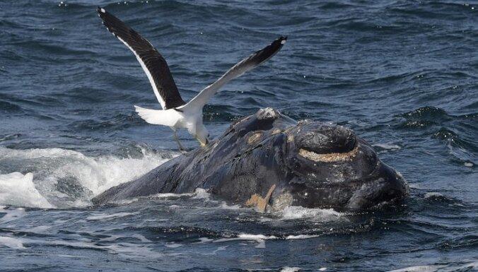 Чайки стали нападать на детенышей китов и отдирать куски мяса