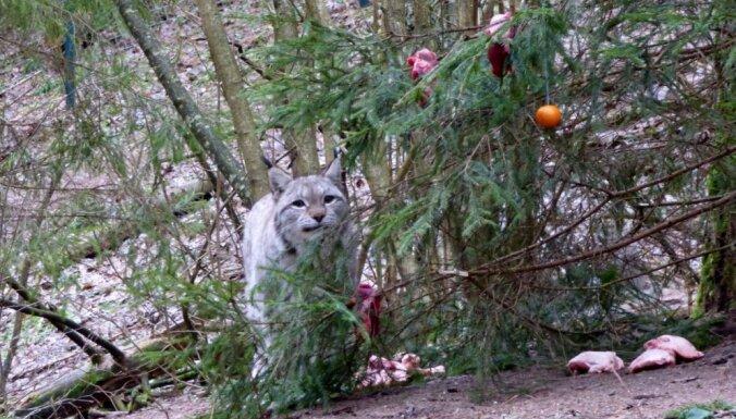 Foto: Dzīres Līgatnes dabas takās – zvēriņi mielojas ar gardumiem